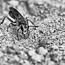 Hornet in Black and White by Edward Myers