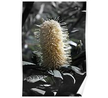 Banksia with Focal B&W Poster