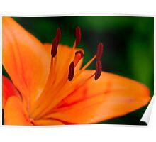 Orange Asiatic Lily 4 Poster
