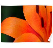 Orange Asiatic Lily 3 Poster