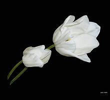 Two White Tulips by Pam Clark