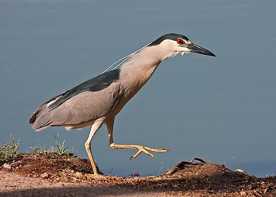 051008 Black Crowned Night Heron by Marvin Collins