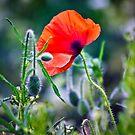 One Wild Poppy by Vicki Field