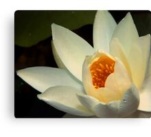 Water Lily (10) Canvas Print