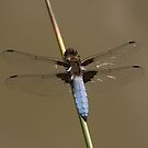 Broad-bodied Chaser Dragonfly by John Keates
