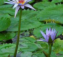 Cape Blue Water Lily  - (Nymphaea capensis Thunb) by Robert Taylor