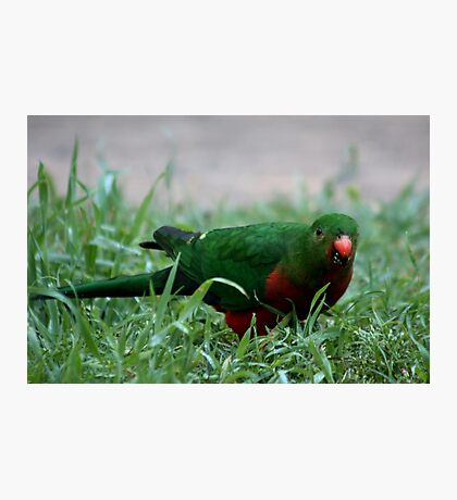 King Parrot Eating Photographic Print