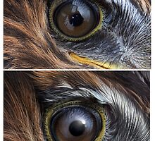BLACK HARRIER (Circus maurus) EYE (ONLY THE TOP PIC IS A PHOTO!!!) by DilettantO