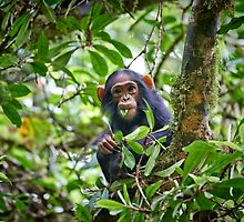 cute feeding juvenile chimpanzee, Kibale National Park by travel4pictures