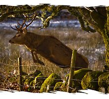 A Red Deer makes the jump by Jessica Smith
