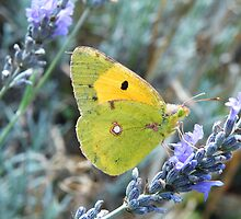Yellow, green, purple, pink; with eyes this big it's hard to wink. by Alison Finch