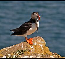 Proud puffin with sandeels by almaalice