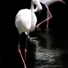 Greater Flamingos by Debbie Ashe