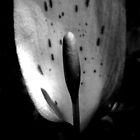 Wild Arum by Samantha Higgs