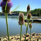 Teasels Lakeside by debbiedoda