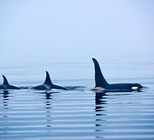 Three Killer whales with huge dorsal fins by travel4pictures