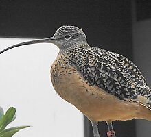 Long billed Curlew by Joni  Rae