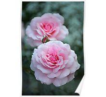Elegant pink roses Poster
