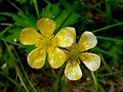 A Pair of Buttercups by Lucinda Walter