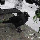 Jackdaw by shawn50