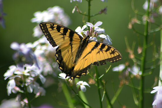 Eastern Tiger SwallowTail Butterfly by Jcook
