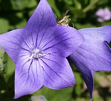 Blue Bellflower by Laurel Talabere