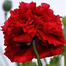 Poppy wears Red ....... by lynn carter