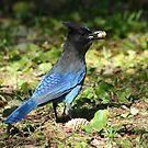 Steller Jay by SKNickel