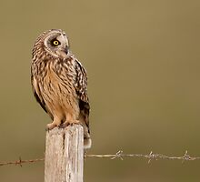 Short Eared Owl by Paul Blackley