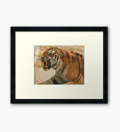 Unhappy tiger! Framed Print