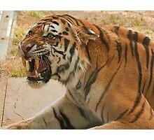 Unhappy tiger! Photographic Print