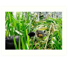 Adult Coot Feeding a Young Chick Art Print