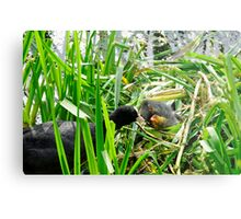 Adult Coot Feeding a Young Chick Metal Print