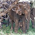 Baby Elephant and Family, Tarangire National Park, Tanzania by Adrian Paul