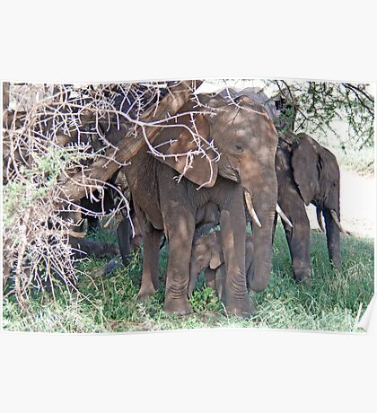 Baby Elephant and Family, Tarangire National Park, Tanzania Poster