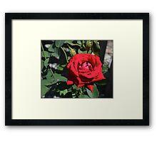 Red Rose, original photography, garden flower Framed Print