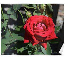 Red Rose, original photography, garden flower Poster