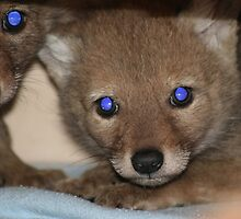 Coyote Pups by PrairieRose