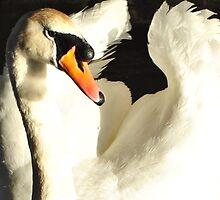 swan in no rush by Ydennek