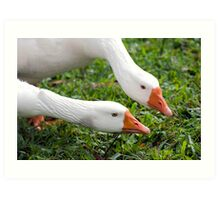 What's with that camera? - geese at Warrina Lakes Art Print