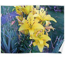 Nice Batch Of Yellow Lillies Poster