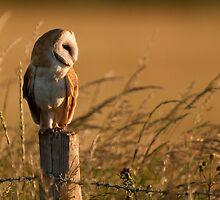 Barn Owl by Paul Blackley