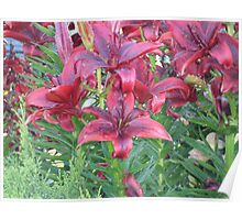 red Lillies beading with water Poster