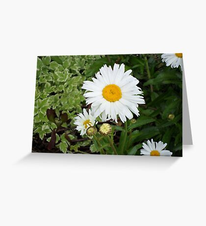 Dasies Greeting Card