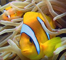Anenome Fish Red Sea by Steve  Elliott