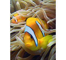 Anenome Fish Red Sea Photographic Print