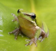 Eastern Sedge Frog - Rockhampton, Qld by Wendy Eiby