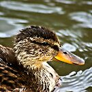 Duckling by Trevor Kersley