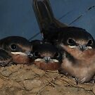 Baby Swallows by Lolabud