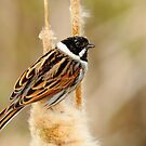 Reed......Bunting by CBoyle